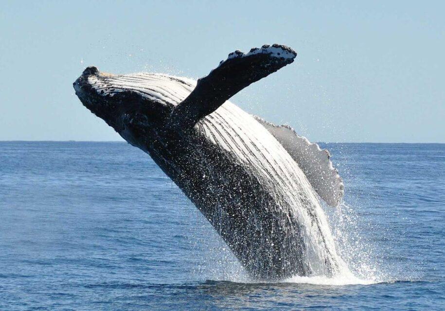 Breaching humpback whale megaptera novaeangliae, Cabo San Lucas, Baja California.